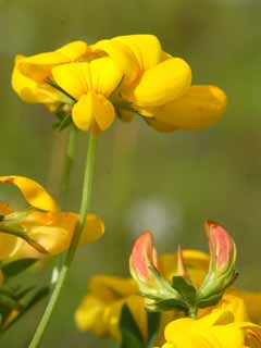Greater Birdsfoot trefoil